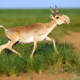 Сайгак — интересный представитель подсемейства антилоп с характерной внешностью и повадками