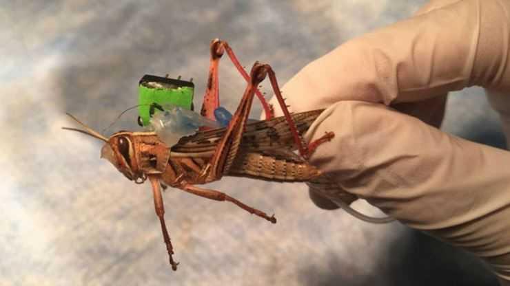 Саранча — насекомое-вредитель: описание, виды, где живет и чем питается предвестник бед и несчастий