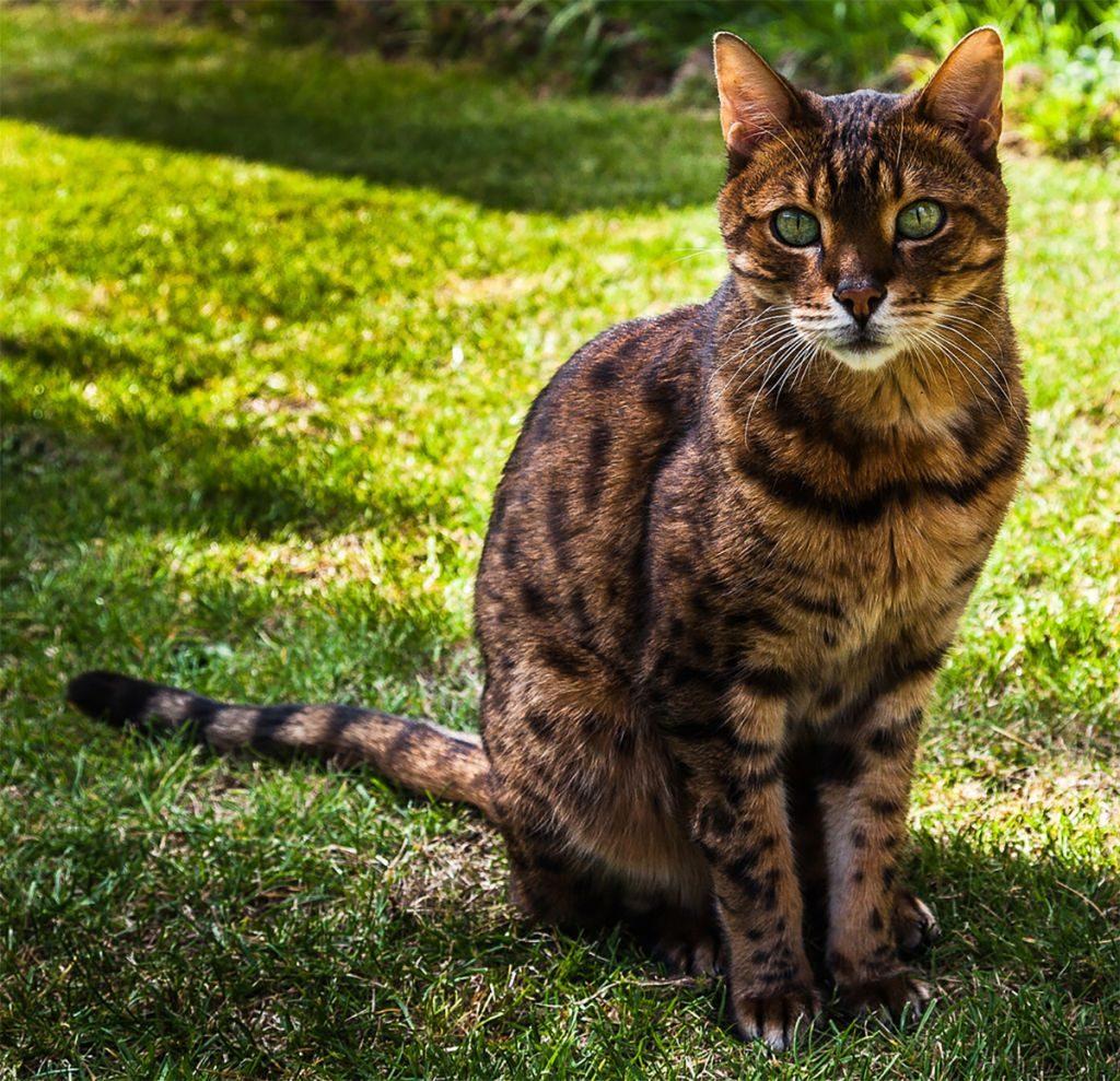 голову картинки леопардового кота сорта
