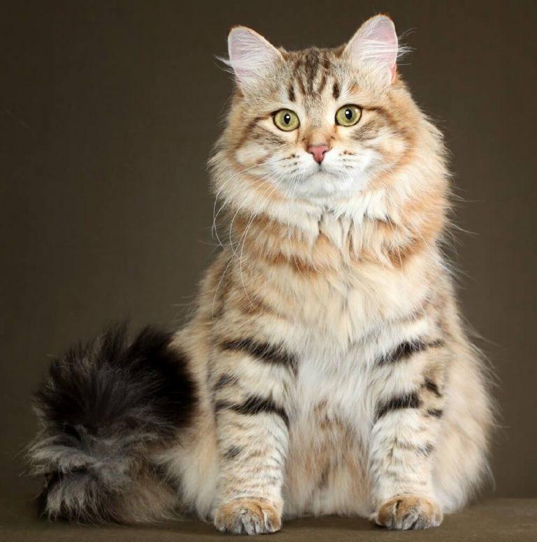 Красивые картинки сибирских кошек