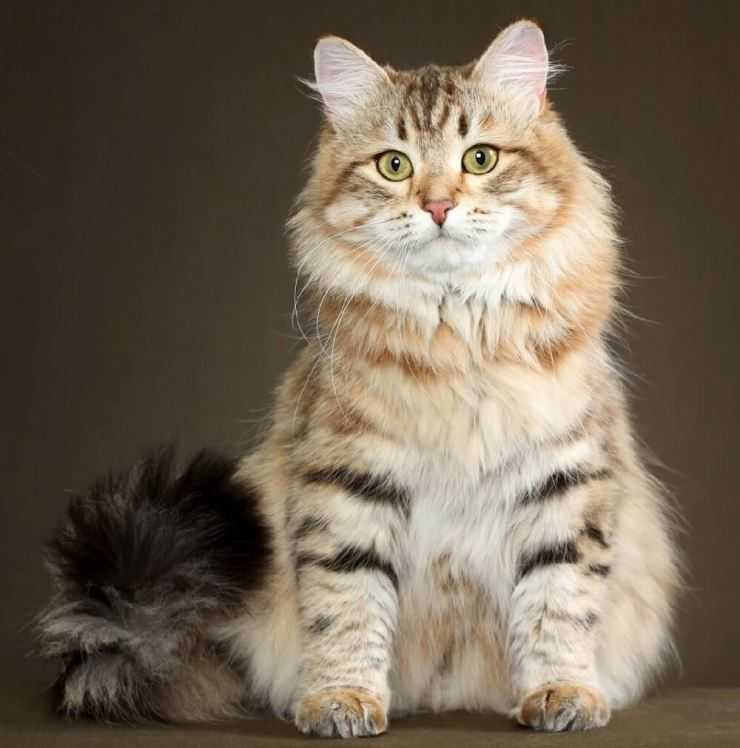 фото сибирских кошек и котят прежде чем