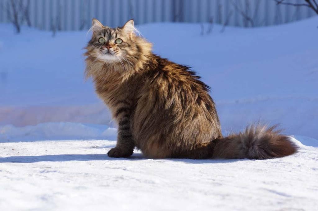 известно приличных сибирские кошки фотографии должно