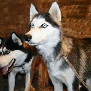 Сибирский хаски — полный обзор вида, история происхождения, особенности характера и опыт содержания в этой статье!
