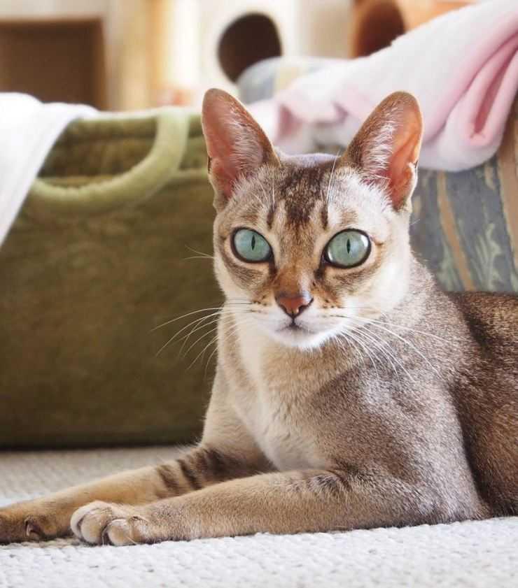 оперении сочетаются сингапурская кошка фото эшвил много времени