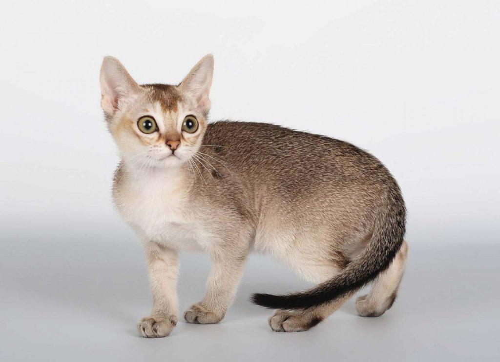 Коты сингапура фото
