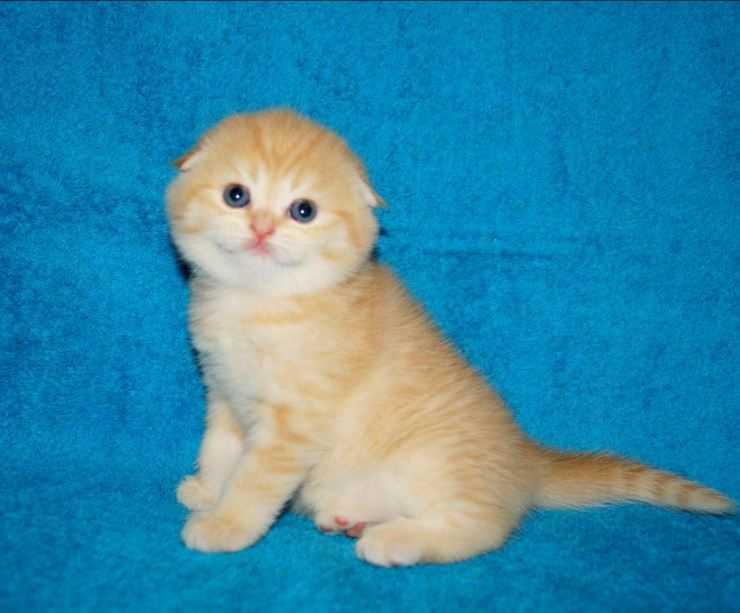 Видео порода кошек вислоухие