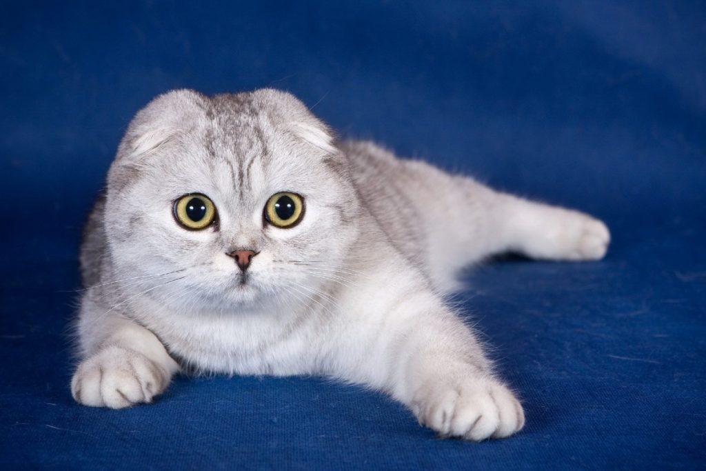 Шотландская вислоухая коты фото