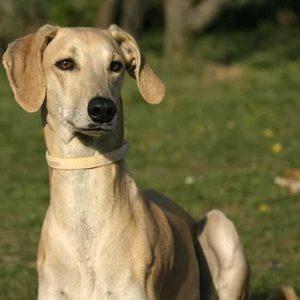 Слюги или арабская борзая собака: темперамент, особенности, правила содержания, история арабского аристократа (фото + видео)