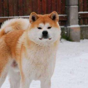 Собака акита ину — полное описание породы от А до Я, тонкости дрессировки и питания а также другие нюансы в статье! +120 фото