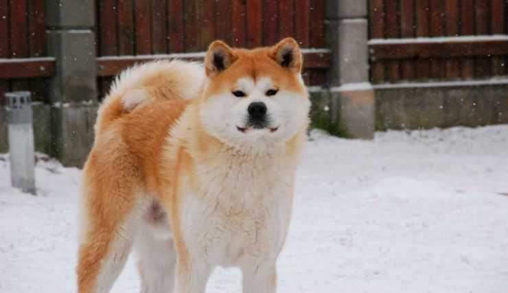 Акита ину фото собаки описание