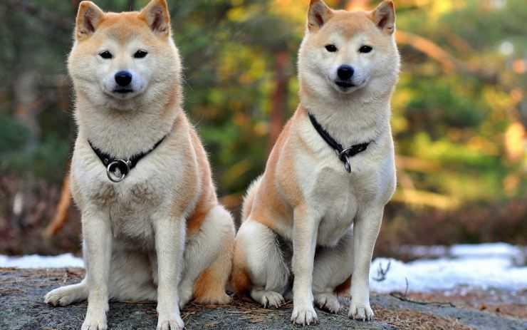 Акита-ину – порода собак из Японии. Описание и фото японской акита-ину