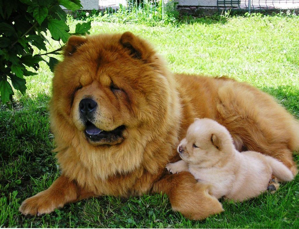 Фото собак породы чао чао