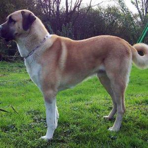 Собака кангал (Анатолийская овчарка) — внешний вид, характер, дрессировка, питание, фото. Узнайте все о породе Кангал от А до Я