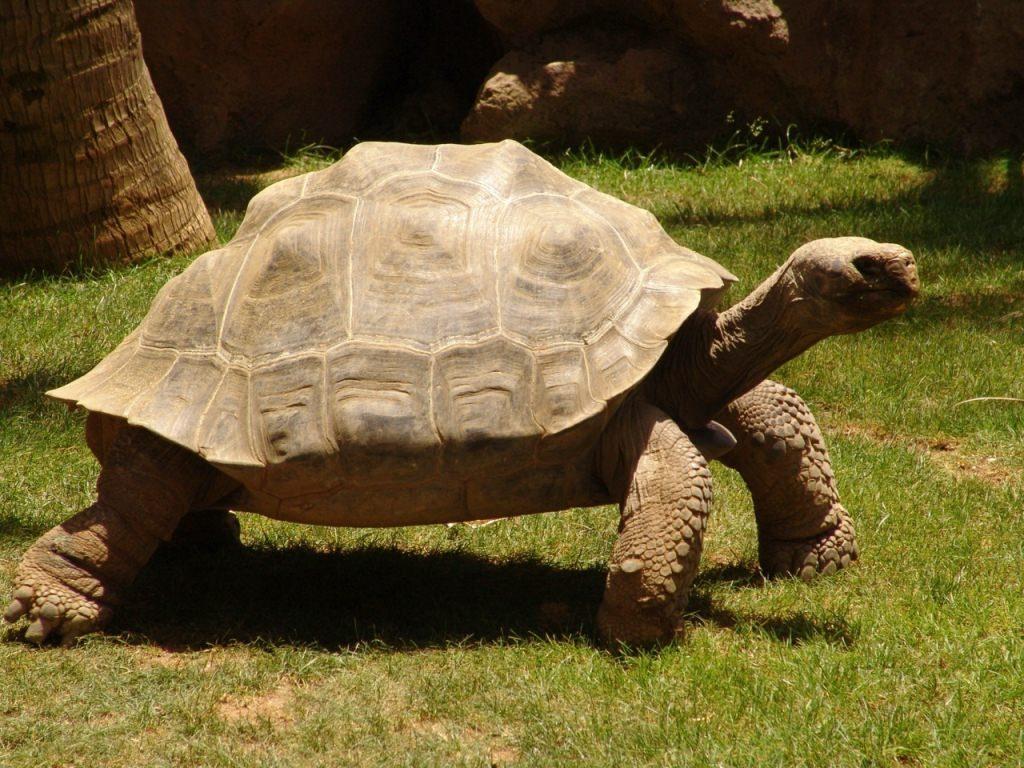Слоновую черепаху картинка