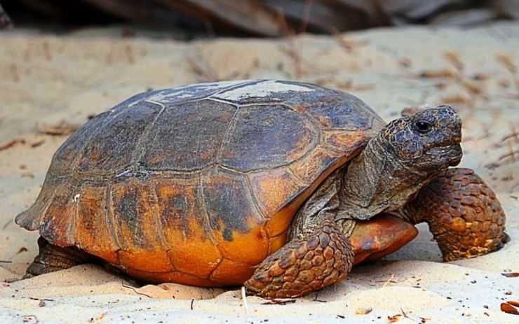 Сухопутная черепаха — общее описание большого семейства рептилий, характеристика и интересные факты о животном