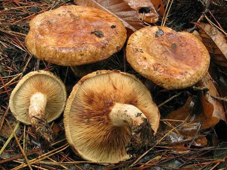 Свинушка — описание, виды, особенности, фото гриба с ядом замедленного действия