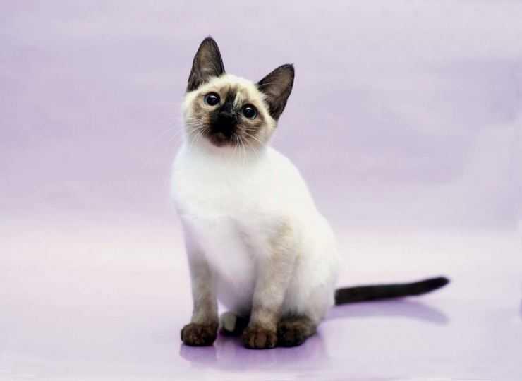 Тайская кошка: характер, описание породы и особенности содержания (90 фото)