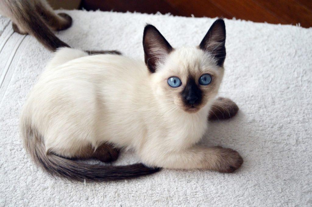 Тайский котик характер фото фото самодельного