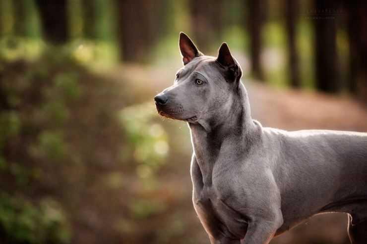 Тайский риджбек - абориген из Таиланда. Характер, описание и содержание редкой породы собак