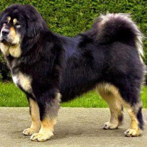 Тибетский мастиф — порода собак с густой и ровной шерстью. Фото, цена щенков, уход, отзывы, питание, характер + интересные факты о породе