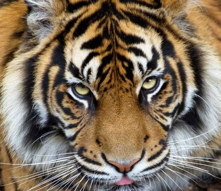 Тигр — 120 фото, места обитания, питание, повадки, ареал обитания и образ жизни хищной кошки