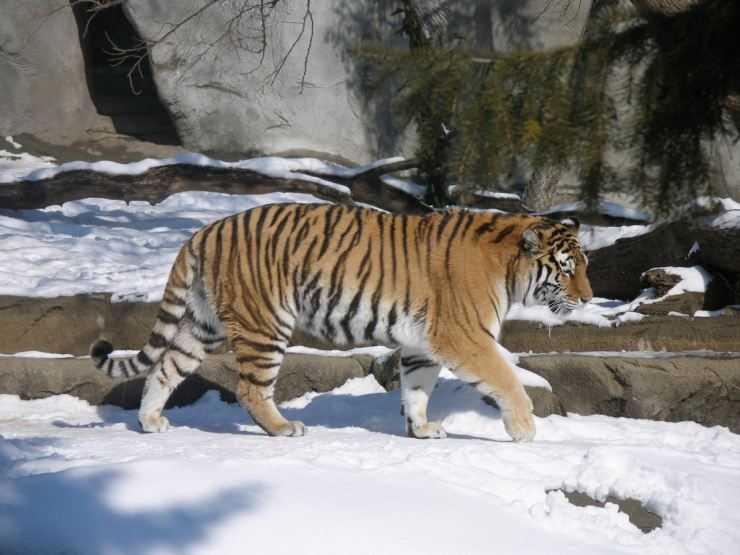 Тигр — фото, места обитания, питание, повадки, ареал обитания, образ жизни и интересные факты о животном