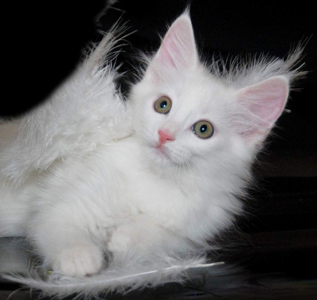 общее картинки ангорского кота маги