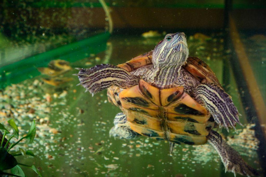 водяная черепаха в домашних условиях фото сообщалось, что