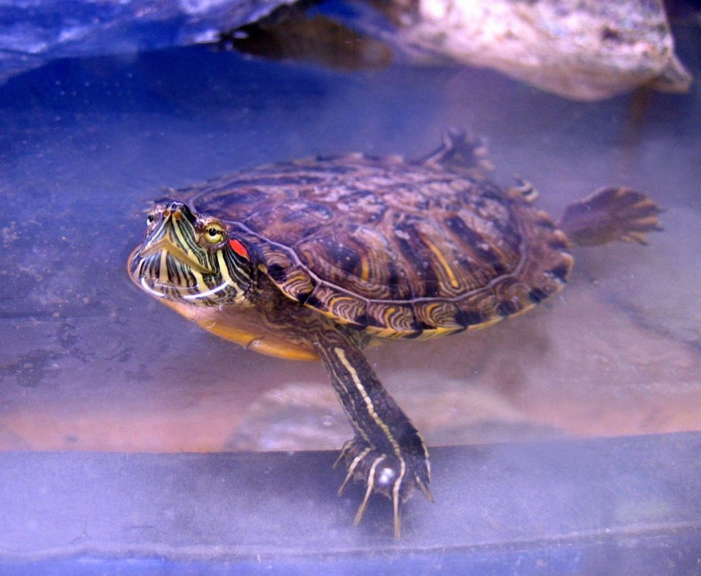 водяная черепаха в домашних условиях фото тому избавит