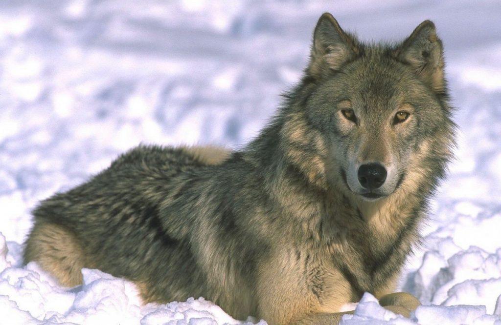 Волк для детей картинки