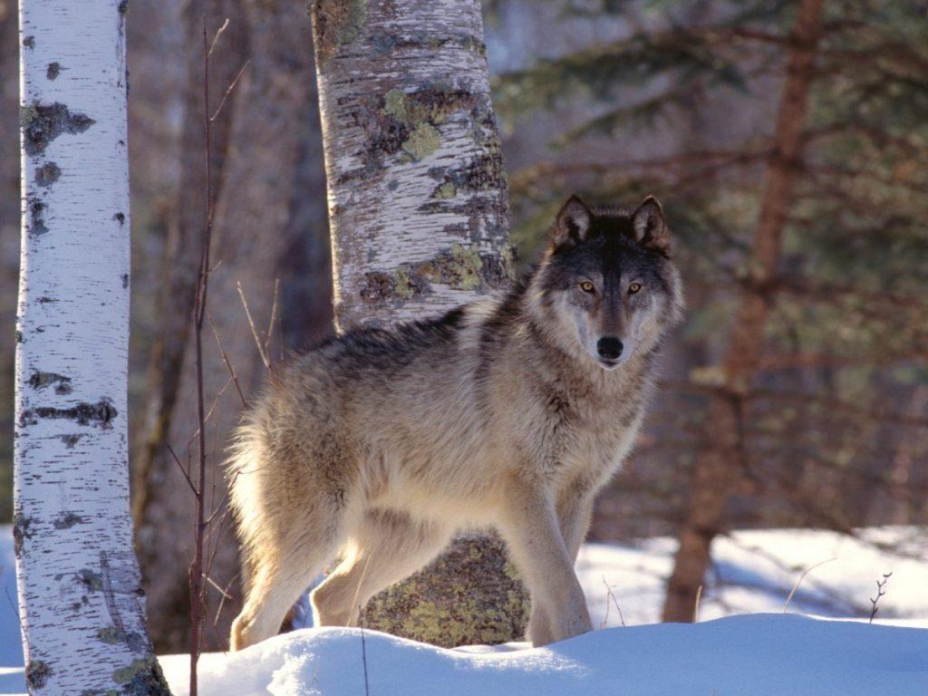 сибирский волк зимой фото