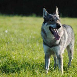 Волкособ — 125 фото, цена, содержание, уход и воспитание гибрида собаки и волка