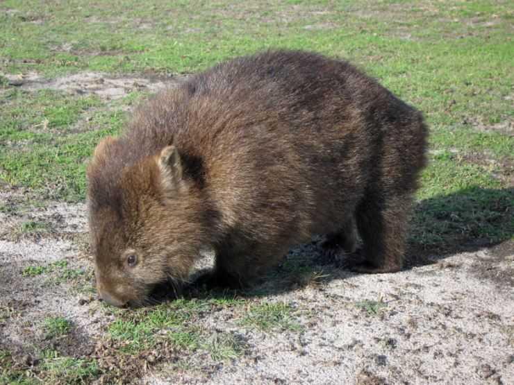 Вомбаты — жизненный цикл животного, описание строения, места обитания и рацион питания (90 фото)