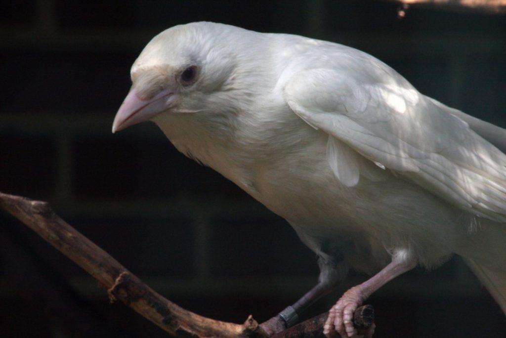 редкая белая ворона фото деревьях уже