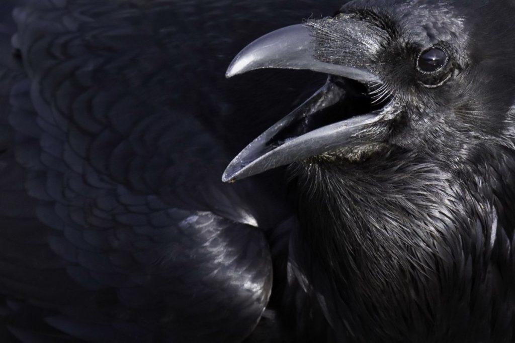 Красивое фото ворона