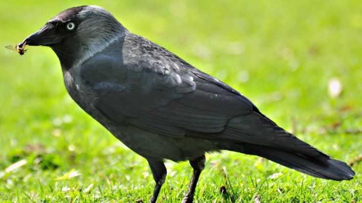 Ворона — строение, виды, рацион питания, места обитания и образ жизни (120 фото и видео)