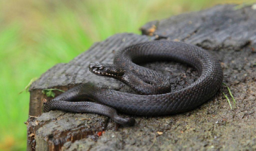 суханова ядовитые змеи подмосковья фото и описание костюмов