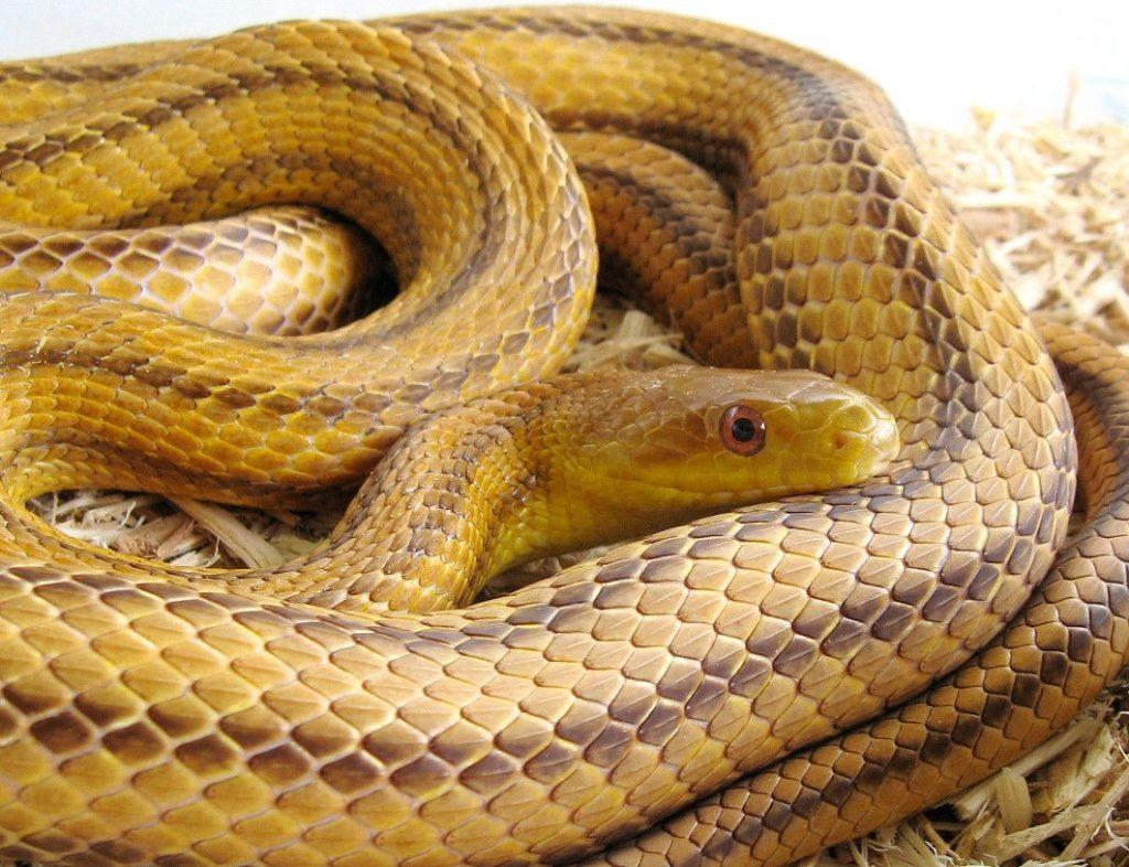 золотистая змея фото