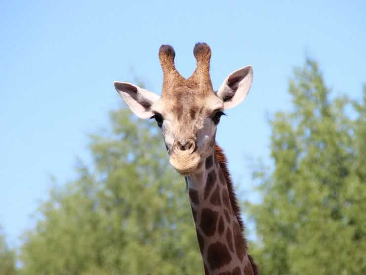 Жираф — виды, места обитания, питание, поведение и ареал обитания самого высокого животного в мире (140 фото)