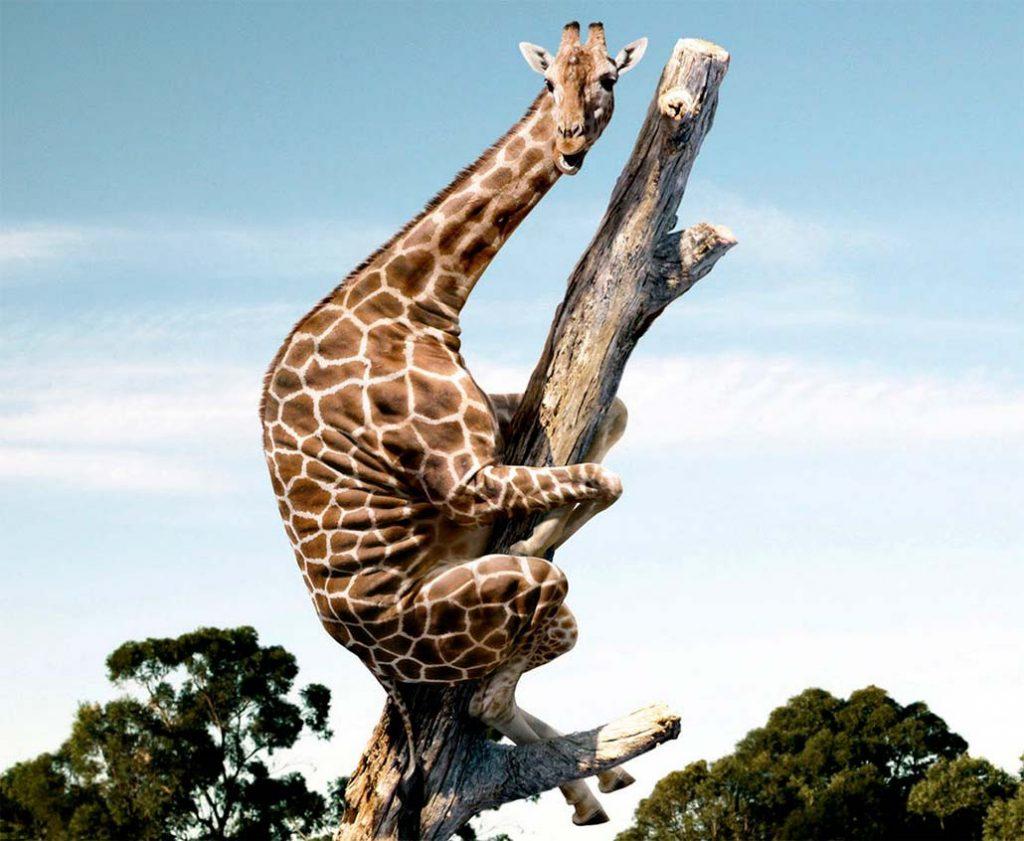 жираф картинка с надписью назвали