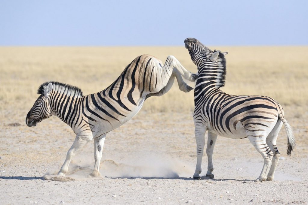 Картинка зебра бежит