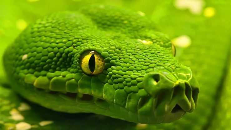 Зеленая змея — как выглядит, где живёт ядовитая рептилия с агрессивным характером