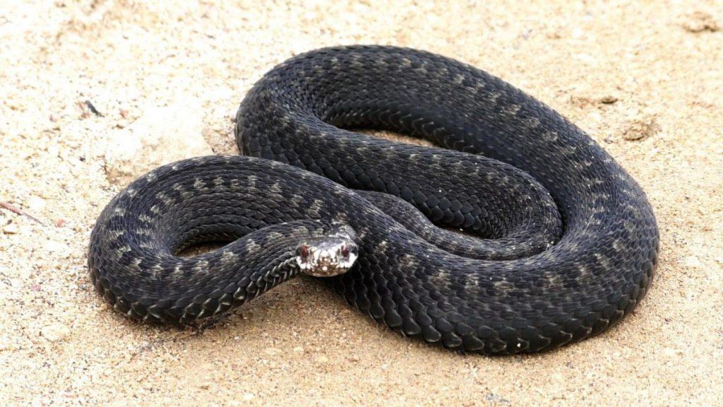 змеи беларуси картинки сама подумываю