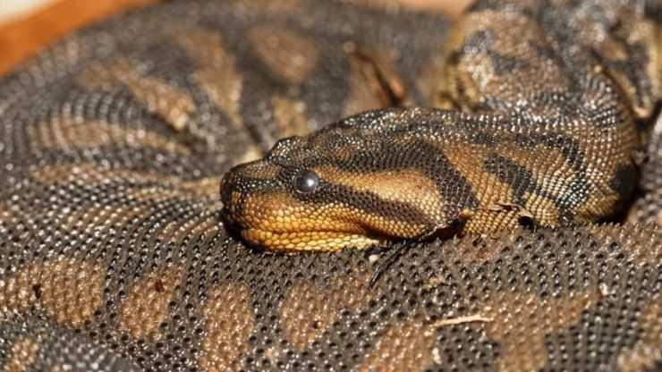 Змеи Крыма — фото и описание ядовитых и безопасных видов пресмыкающихся Крымского полуострова