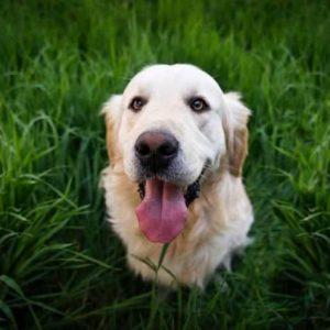 Золотистый ретривер — порода собак из Великобритании. Все о собаке от А до Я. Фото, характер, история, цена щенков, отзывы, содержание