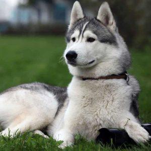 Аляскинский маламут: особенности породы, описание характера, достоинства и недостатки собаки (115 фото и видео)