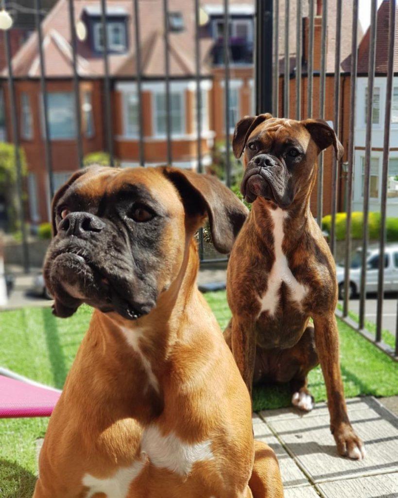 голым торсом боксеры собаки фото название такую