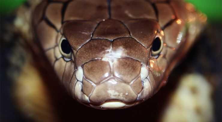 Большая змея — обзор самых больших змей и мест их обитания. 110 фото, названия и особенности огромных змей