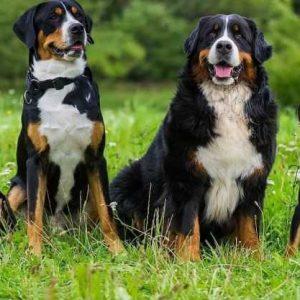 Большой швейцарский зенненхунд — 110 фото, описание породы, уход, питание и дрессура собаки