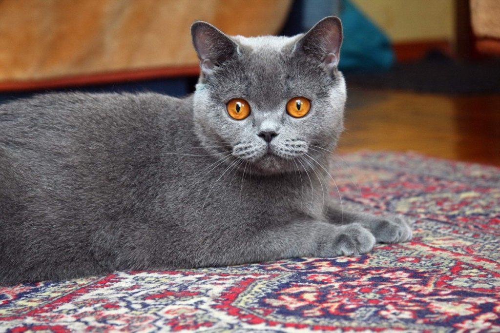 начала виды британских кошек фото них